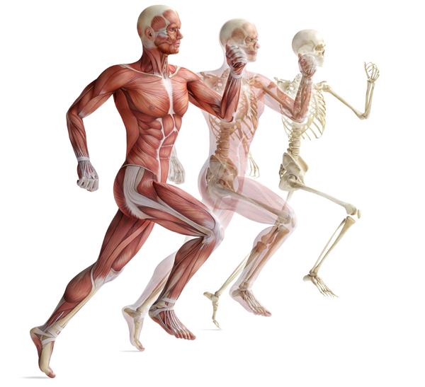 anatomy-skeleton600