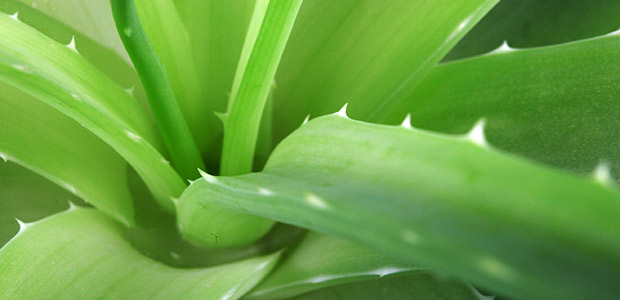 El Aloe vera se cuela en la cocina