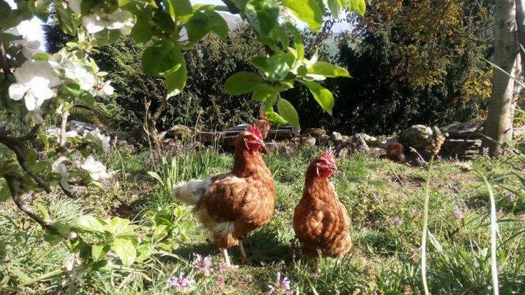 El desvieje de las gallinas