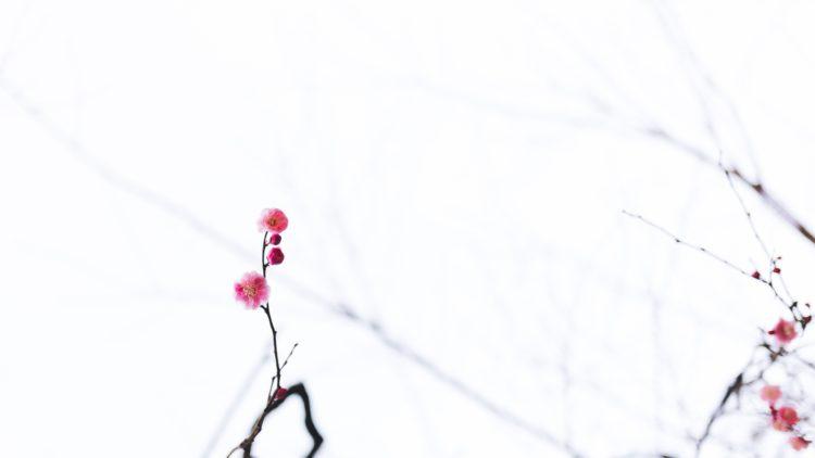 Ciruelas umeboshi, un encurtido muy saludable